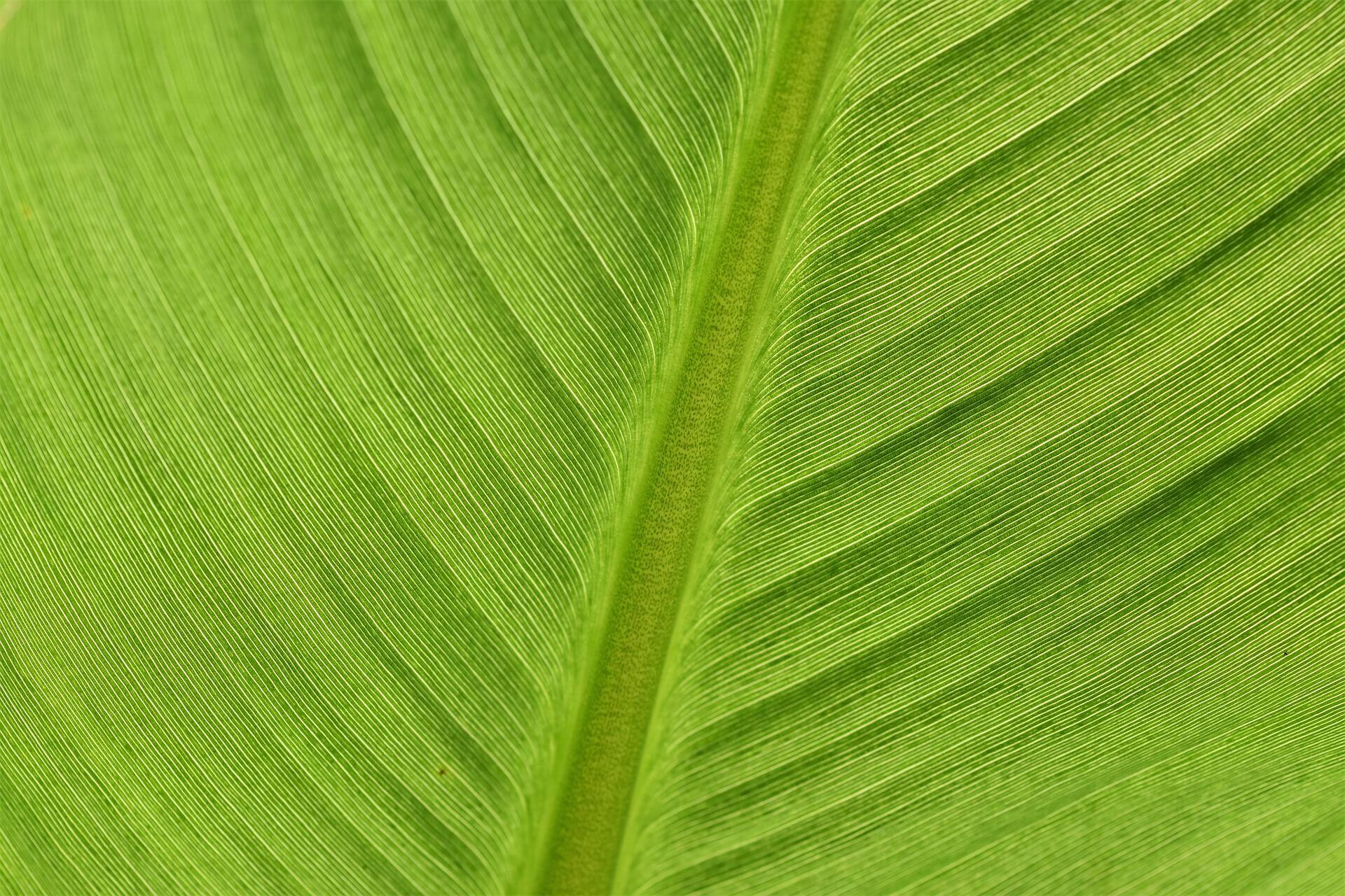 bananenblatt bild
